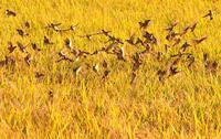 実る秋と雀