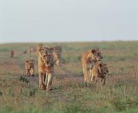 ライオン マサイマラ動物保護区