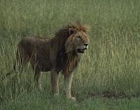 ライオン 25842003803| 写真素材・ストックフォト・画像・イラスト素材|アマナイメージズ