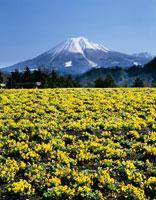 ビオラの花咲くとっとり花回廊より望む大山 25846007534| 写真素材・ストックフォト・画像・イラスト素材|アマナイメージズ