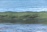 サケ 遡上前の波間 25851006227| 写真素材・ストックフォト・画像・イラスト素材|アマナイメージズ