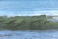 サケ 遡上前の波間 25851006228| 写真素材・ストックフォト・画像・イラスト素材|アマナイメージズ
