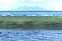 サケ 遡上前の波間 25851006385| 写真素材・ストックフォト・画像・イラスト素材|アマナイメージズ