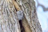 エゾモモンガ 木の穴