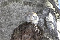 エゾモモンガ 木の幹