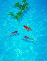 金魚 25873004446| 写真素材・ストックフォト・画像・イラスト素材|アマナイメージズ