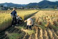 バインダーでの稲刈り 25890000600  写真素材・ストックフォト・画像・イラスト素材 アマナイメージズ