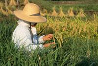 稲を見る女性 25890000607  写真素材・ストックフォト・画像・イラスト素材 アマナイメージズ