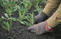 苗を植える 25890000912  写真素材・ストックフォト・画像・イラスト素材 アマナイメージズ