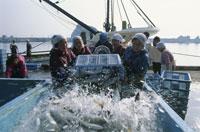 鴨川の水揚げ風景 25890001044  写真素材・ストックフォト・画像・イラスト素材 アマナイメージズ