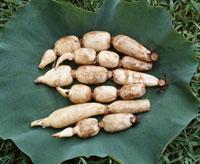 蓮の葉の上でレンコンの収穫 25890001294  写真素材・ストックフォト・画像・イラスト素材 アマナイメージズ
