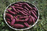収穫したサツマイモのざる 25890001972  写真素材・ストックフォト・画像・イラスト素材 アマナイメージズ