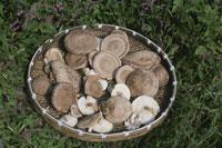 シイタケを収穫したざる 25890001983  写真素材・ストックフォト・画像・イラスト素材 アマナイメージズ