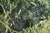 クモの網かけ 25890002003  写真素材・ストックフォト・画像・イラスト素材 アマナイメージズ