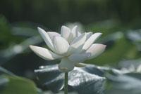白い蓮の花 25890002005  写真素材・ストックフォト・画像・イラスト素材 アマナイメージズ