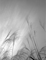 ススキと流れる雲 25890002040  写真素材・ストックフォト・画像・イラスト素材 アマナイメージズ