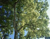 くぬぎ新緑 25905001623| 写真素材・ストックフォト・画像・イラスト素材|アマナイメージズ