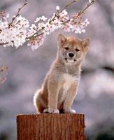 桜の下の柴犬