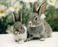 ウサギ 25918027948  写真素材・ストックフォト・画像・イラスト素材 アマナイメージズ
