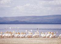 ナクル湖のペリカン