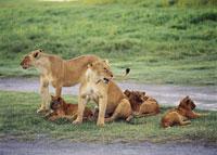 ライオン クレーター ンゴロンゴロ国立公園