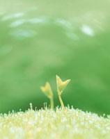 二葉(あずき)と芝の新芽 7月
