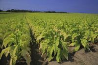 タバコの葉の畑