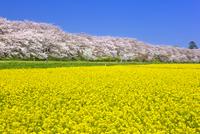 権現堂桜堤の桜 25991003102  写真素材・ストックフォト・画像・イラスト素材 アマナイメージズ