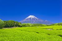 富士山と茶畑 25991004598| 写真素材・ストックフォト・画像・イラスト素材|アマナイメージズ