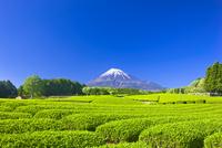 富士山と茶畑 25991004604| 写真素材・ストックフォト・画像・イラスト素材|アマナイメージズ
