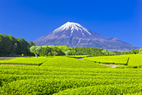 富士山と茶畑 25991004606| 写真素材・ストックフォト・画像・イラスト素材|アマナイメージズ