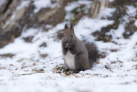 雪面でドングリを食べるエゾリス