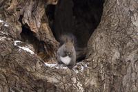 木の洞でドングリを食べるエゾリス