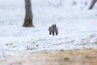 雪面をジャンプしながら走るエゾリス
