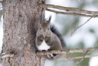 木の枝の上でドングリを食べるエゾリス