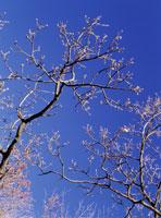クヌギの冬芽 26015000041| 写真素材・ストックフォト・画像・イラスト素材|アマナイメージズ