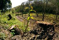 クヌギの萌芽 26015001094| 写真素材・ストックフォト・画像・イラスト素材|アマナイメージズ