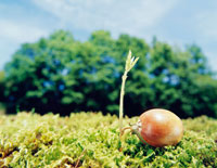 ドングリの芽生え クヌギ 26017000522| 写真素材・ストックフォト・画像・イラスト素材|アマナイメージズ