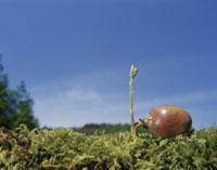 クヌギのドングリの芽生え 26017000524| 写真素材・ストックフォト・画像・イラスト素材|アマナイメージズ