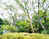 ドングリの芽生え クヌギ 26017000530| 写真素材・ストックフォト・画像・イラスト素材|アマナイメージズ
