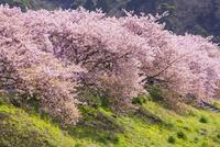 南伊豆町 河津桜 26033004385| 写真素材・ストックフォト・画像・イラスト素材|アマナイメージズ