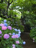 港の見える丘公園の紫陽花