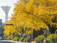 秋の日本大通り 26033005399| 写真素材・ストックフォト・画像・イラスト素材|アマナイメージズ