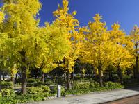 秋の山下公園通り 26033005403| 写真素材・ストックフォト・画像・イラスト素材|アマナイメージズ