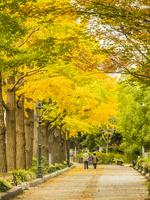 秋の山下公園通り 26033005409| 写真素材・ストックフォト・画像・イラスト素材|アマナイメージズ