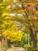 秋の山下公園通り 26033005410| 写真素材・ストックフォト・画像・イラスト素材|アマナイメージズ
