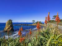 アロエの花が咲く秋谷海岸と富士山 26033005484| 写真素材・ストックフォト・画像・イラスト素材|アマナイメージズ