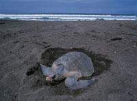 ヒメウミガメの産卵 オスショナルビーチ