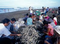 海亀の卵の袋詰め オスショナルビーチ