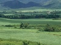 サトウキビ畑の風景